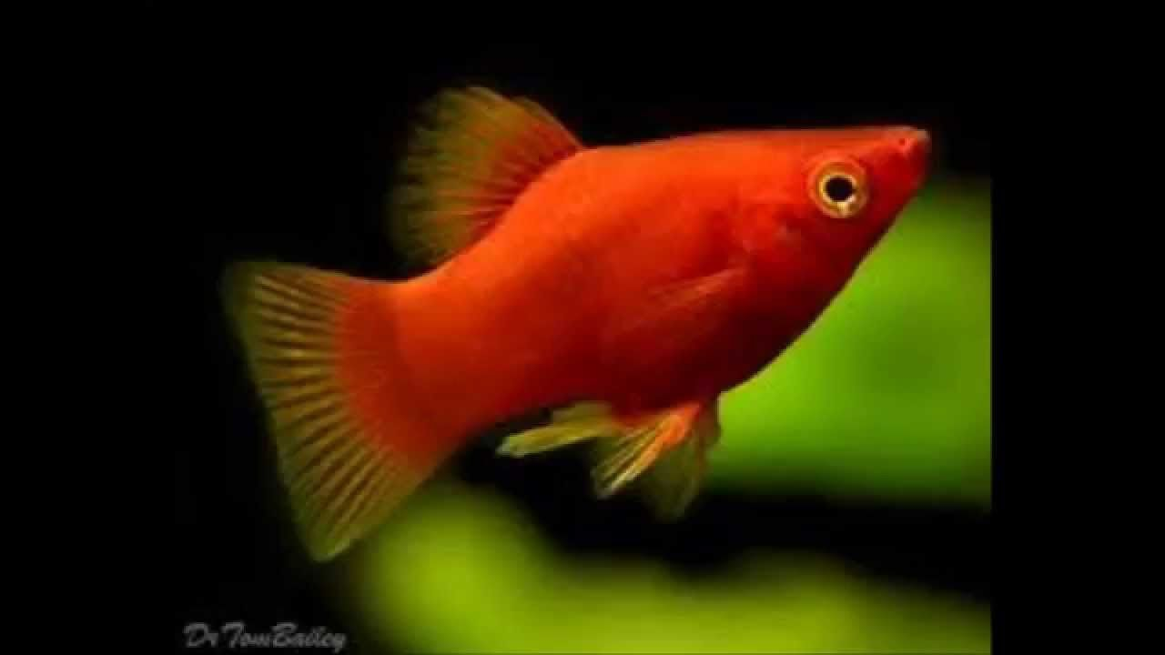 BLUE PLATY TROPICAL FISH FRESHWATER - Google Search | FISH WHO LIVE ...