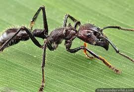 Bullet Ant Ameisen Ameisenkolonie Insekten