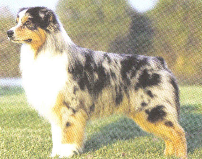 dogAfghan Hound (dog breed) …….. Other alternate
