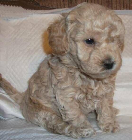 The Perfect Mini Goldendoodle Mini Goldendoodle Puppies