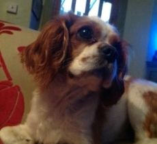 Sam Lost In Wexford Since Dec 23rd King Charles Male If Seen Found Ring Theresa Keane On 085 1646400 Lost Found King Charles