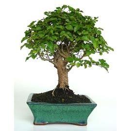 Plantes et Jardins] Bonsaï d\'intérieur : Troène de Chine (49 euros ...