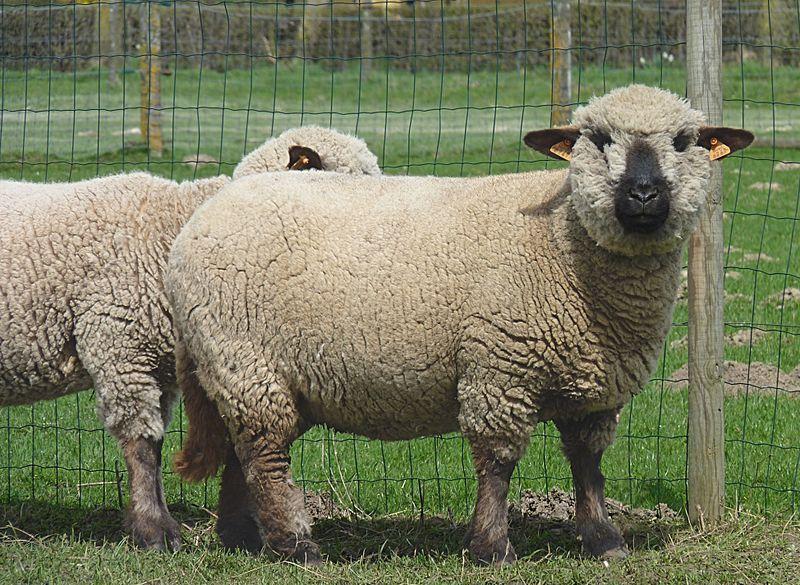File Hampshire Down Sheep J1 Jpg Wikimedia Commons Hampshire Sheep Sheep Breeds Cute Sheep