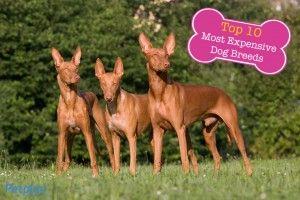 Pharaoh Hound Petplan Top 10 Most Expensive Dog Breeds Hound