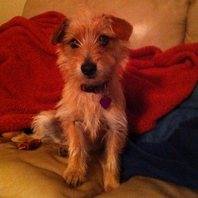 Dorkie Half Yorkshire Terrier Half Dachshund Weiner Dog Yorkshire Terrier Cute Dogs
