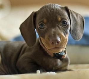 Pin By Alisha Blanchette On Grad School Dachshund Puppy