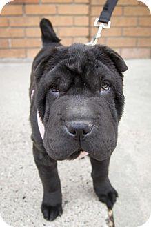 St Louis Park Mn Shar Pei Meet Everly A Puppy For Adoption Puppy Adoption Shar Pei Puppies Puppies