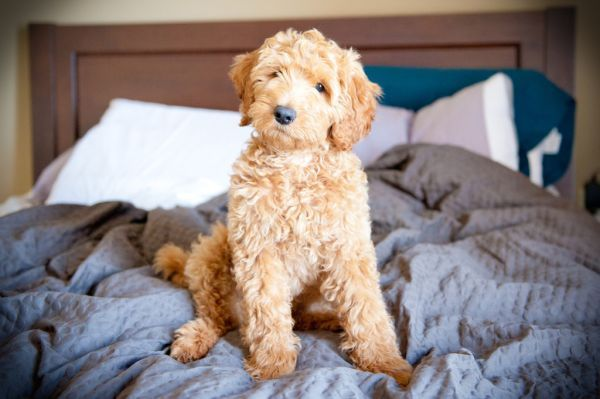 Labradoodle Labradoodle Vs Goldendoodle Labradoodle Dogs Puppy Time