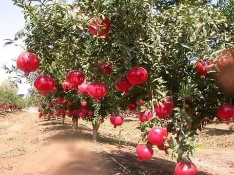 Pomegranate (Dalim/Anaar) tree