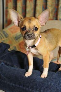 Can Chihuahuas Help Heal Asthma Dog Info Bailey Chairs