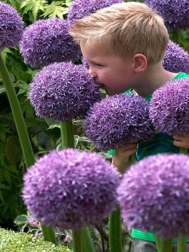 Allium Globemaster Bluestone Perennials Flowers Perennials Allium Giganteum Flower Seeds