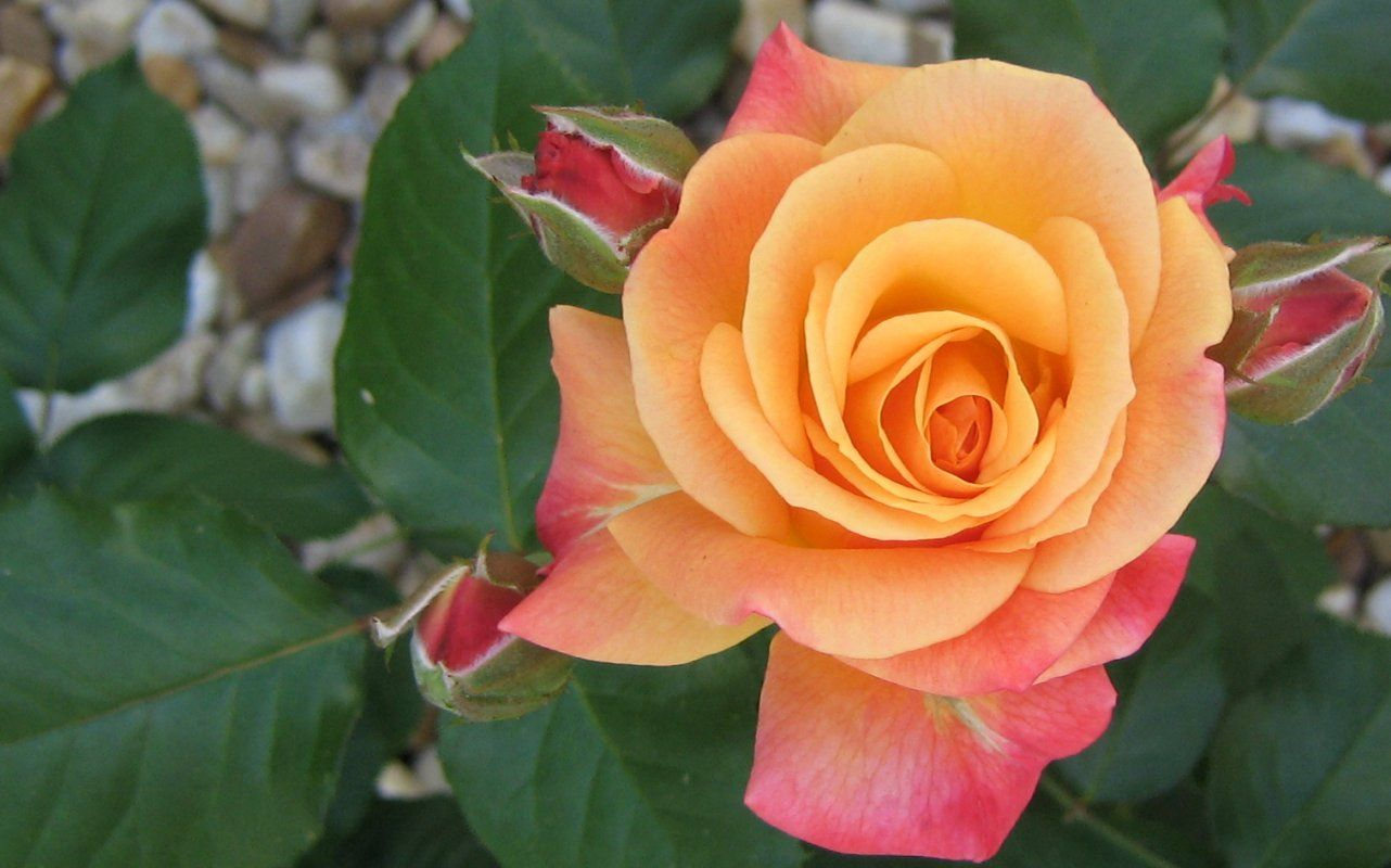 Orange And Pink Roses