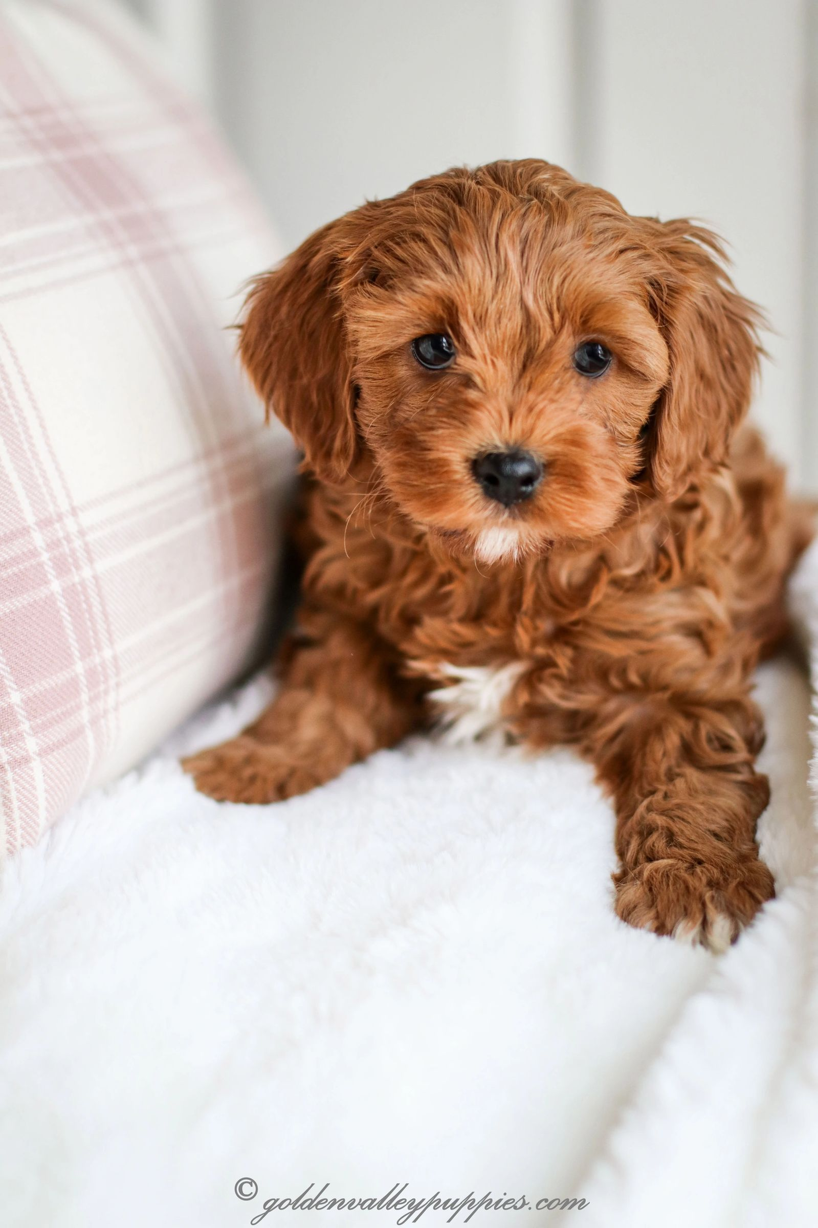 Our Puppy Album Cavapoo Puppies for Sale Golden Valley