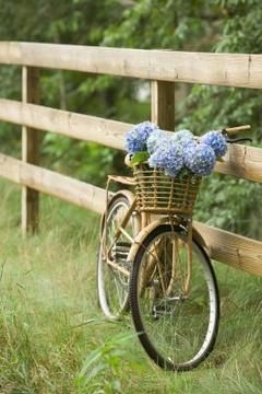 Can You Plant A Mini Penny Hydrangea In A Planter Bicycle Endless Summer Hydrangea Hydrangea