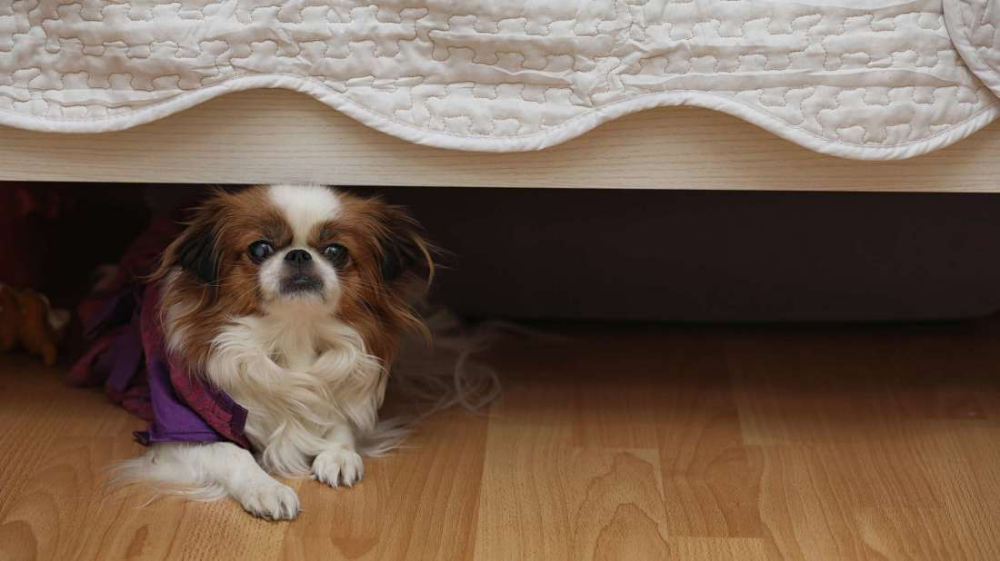 Why Do Dogs Like to Hide Under Beds? (With images) Dryer