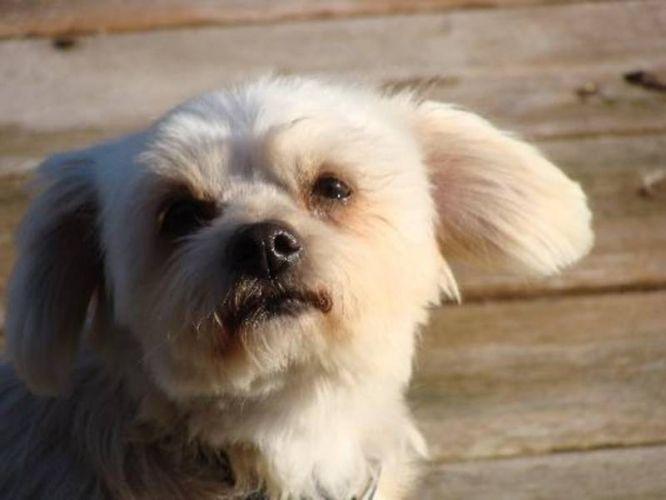 Maltese Adult Dogs Adult Female Dog Maltese Shih Tzu
