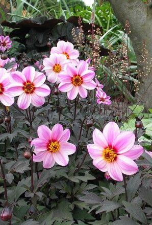 Dahlia Dark Leaved Mystic Dreamer X5 Dahlia Happy Flowers Planting Dahlias