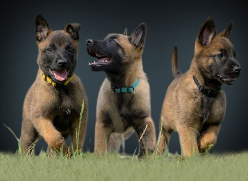 The Doggie A Squeaky Ball For Hours On End Belgian Malinois