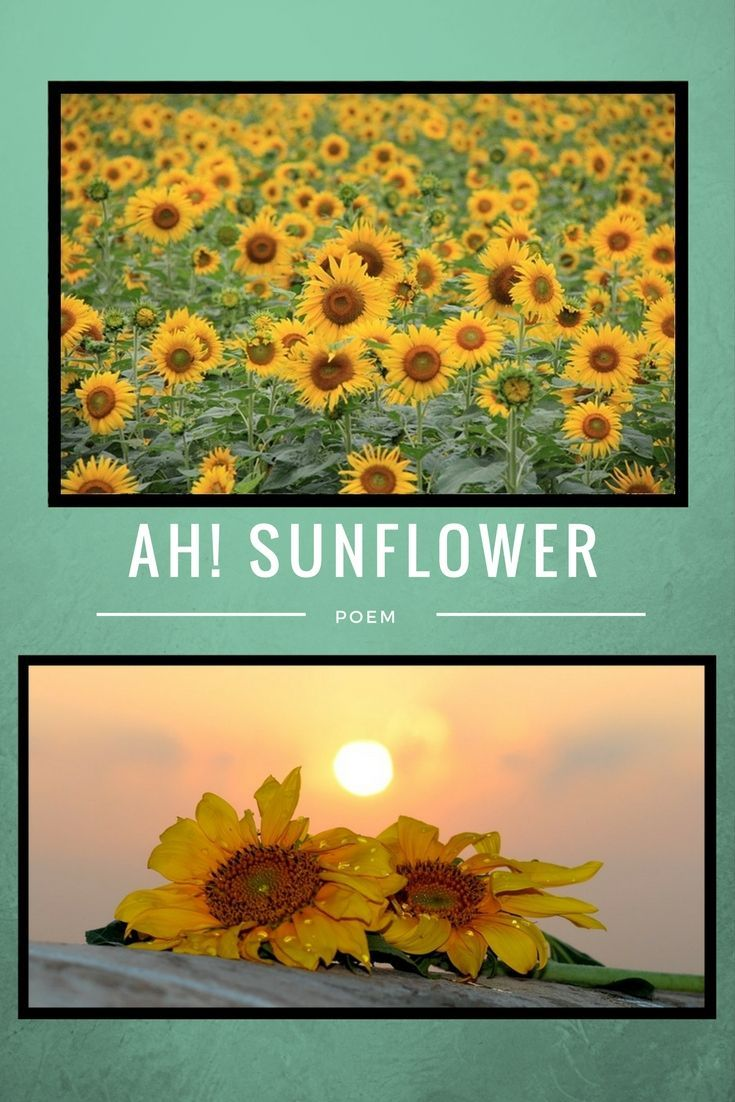 Ah Sunflower Quotes Poems And Books Pinterest William Blake