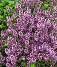 Thymus serpyllum - kangasajuruoho