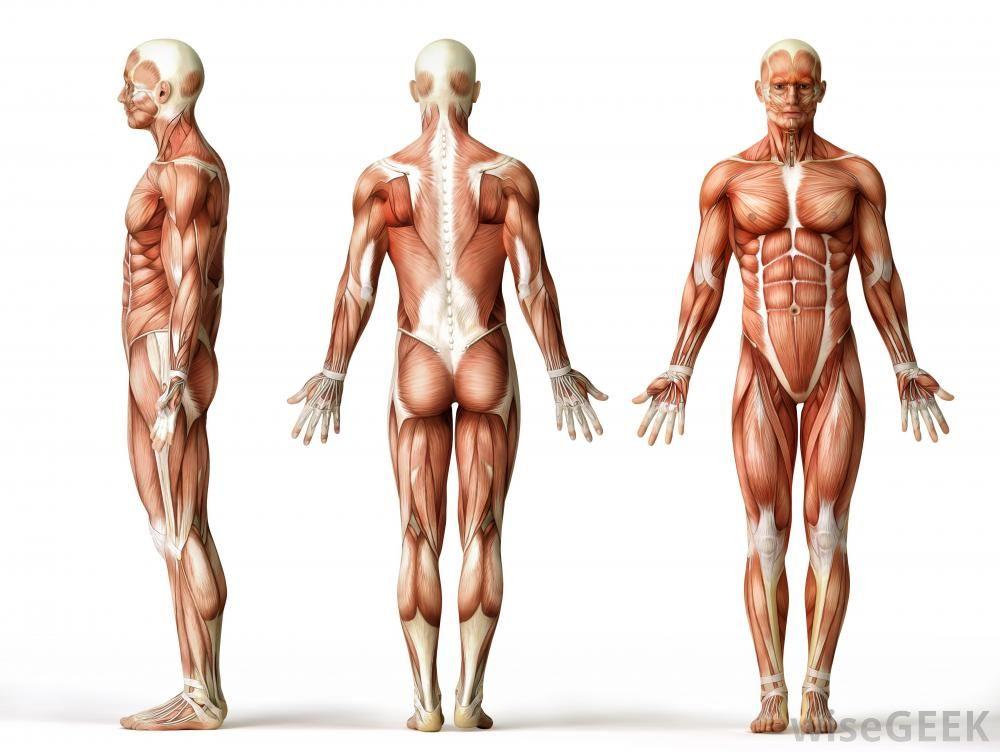 average male anatomy