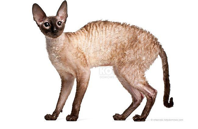 Kot Reks Cornish Feline Pinterest Cornish Rex Cat Breeds And