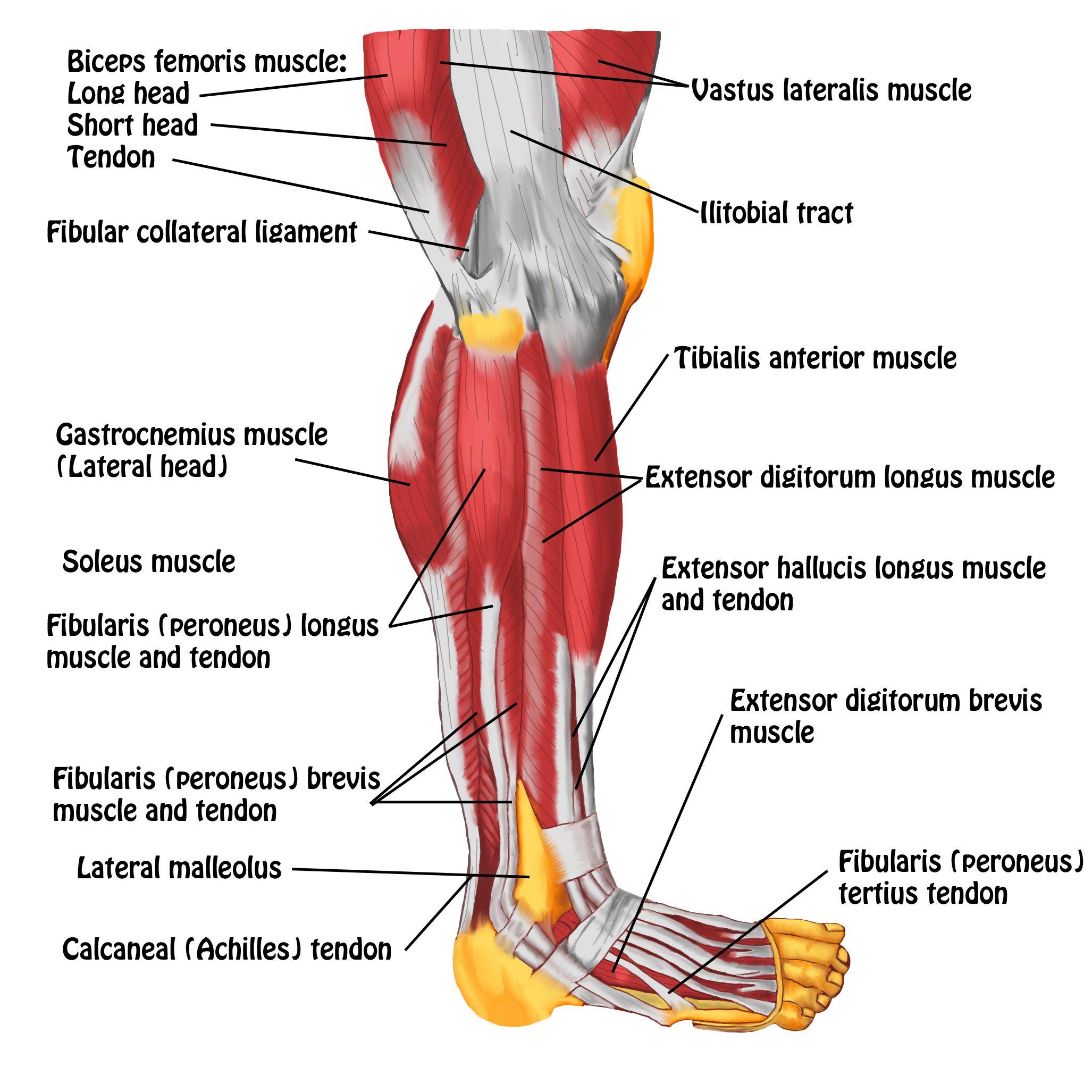 Tendons In Foot Diagram Diagram Of Lower Leg Muscles And Tendons Anatomy Of Lower Leg And Anatomie