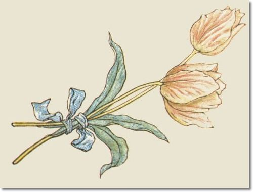 botanical tulip illustrations - Google Search
