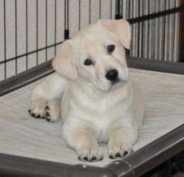 Lucas Is An Adoptable Yellow Labrador Retriever Dog In Egg Harbor Nj Sweet Yellow Lab Puppy Was Rescued From Georgia Labrador Dog Labrador Retriever Labrador