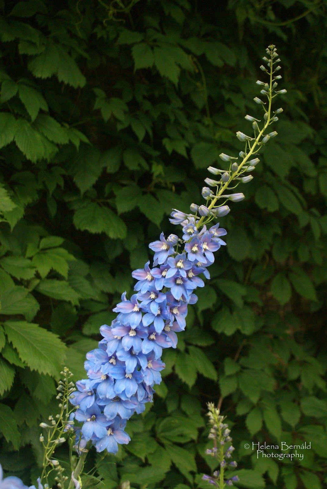 Sky Blue Delphinium Planty Plants Pinterest Delphiniums