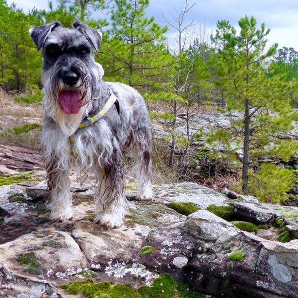 Schnauzer Hiking Schnauzer Animal Advocacy Dogs