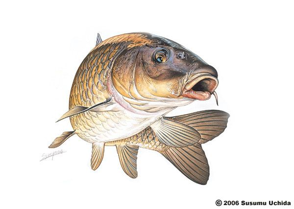 Carp logo carp graphic pinterest carp and for Carp pond design