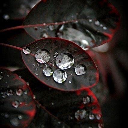 Gotas de agua  #rojo #negro #black #red #hojas #agua #rocio #vscocam #vsco