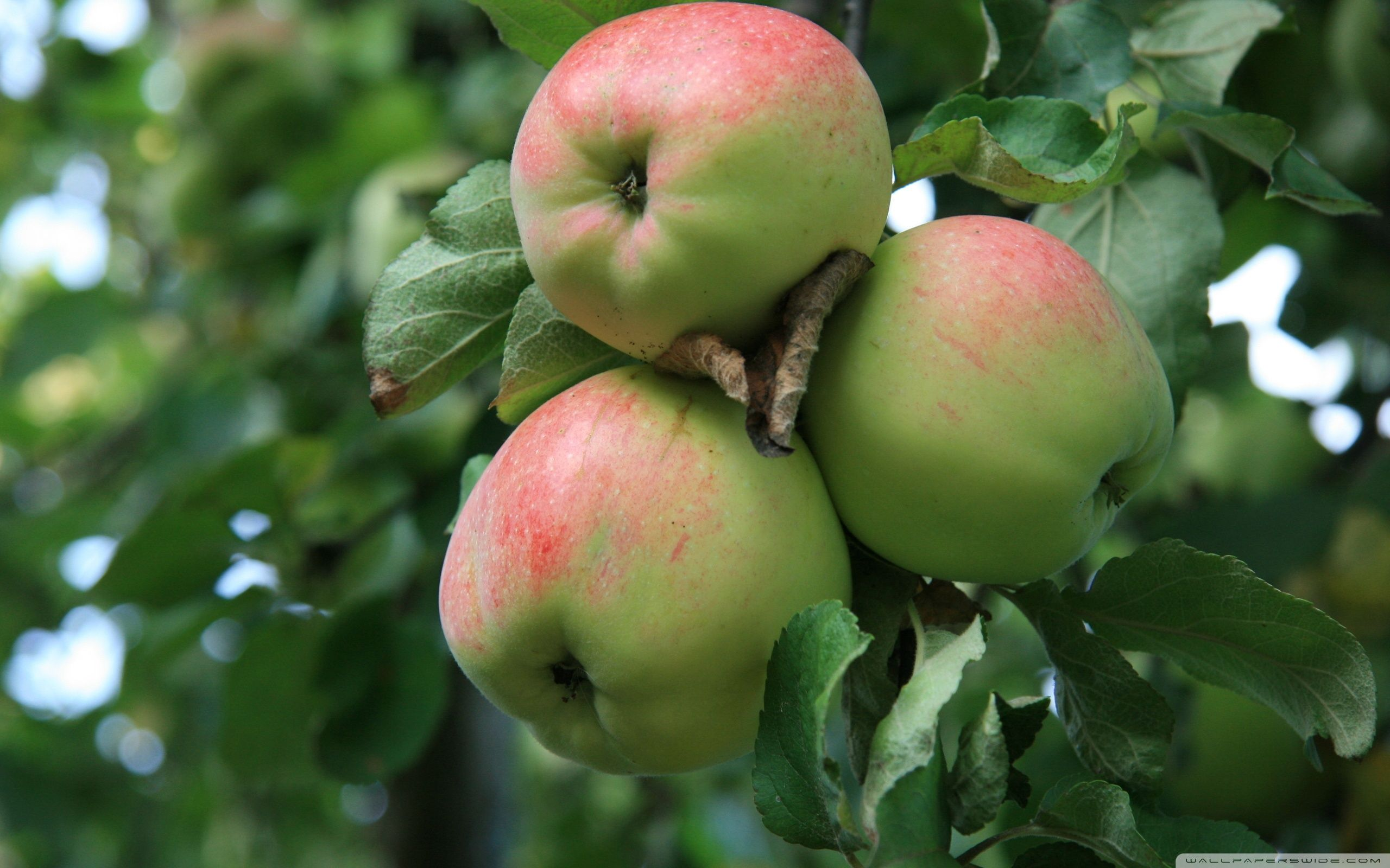 Apple-Tree Wallpapers, 43 Apple-Tree Images and Wallpapers for Mac ... for Green Apple Fruit Wallpaper  110yll