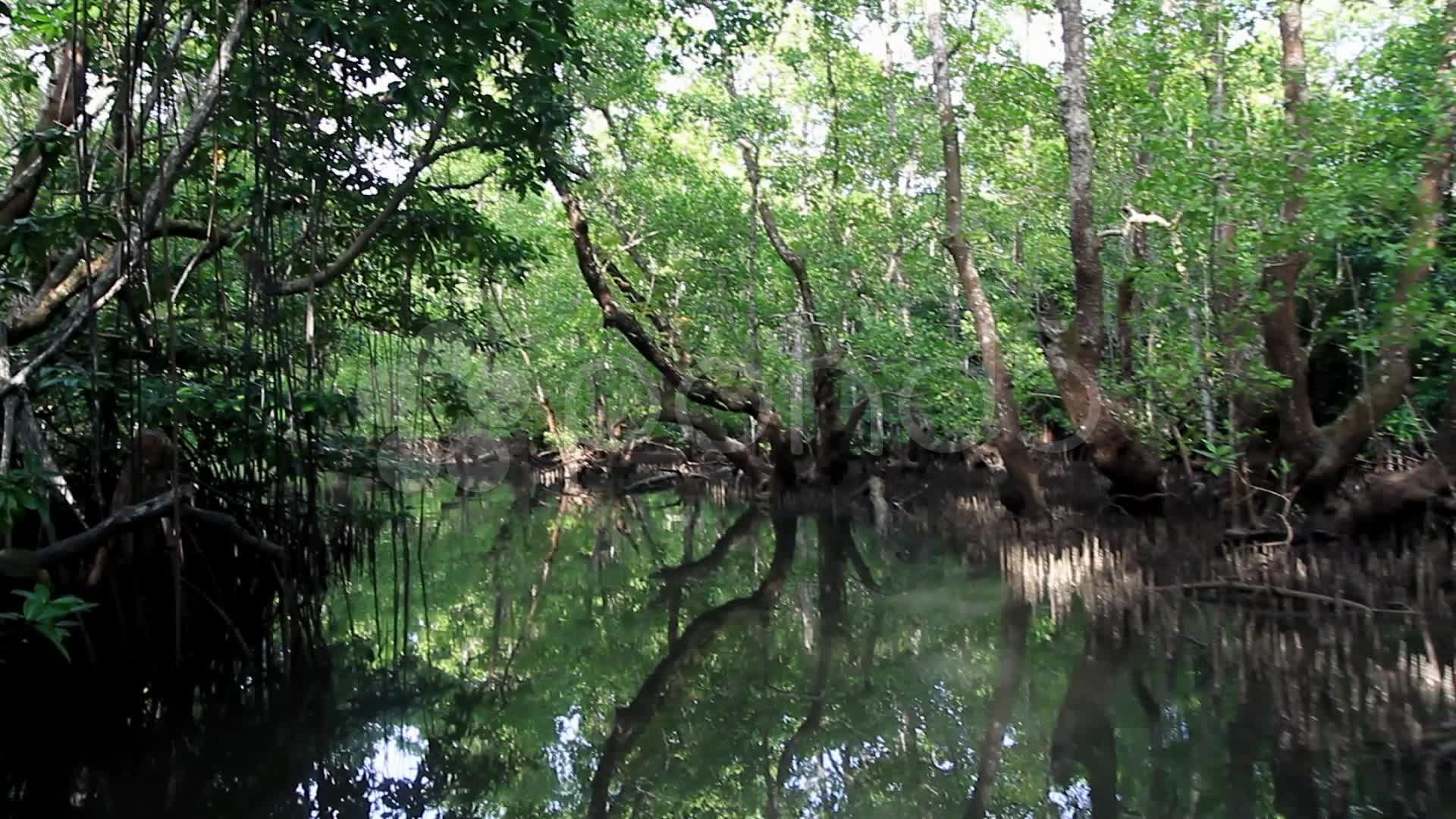 1st Pov Through Mangrove Swamp Stock Footage Mangrove Pov St