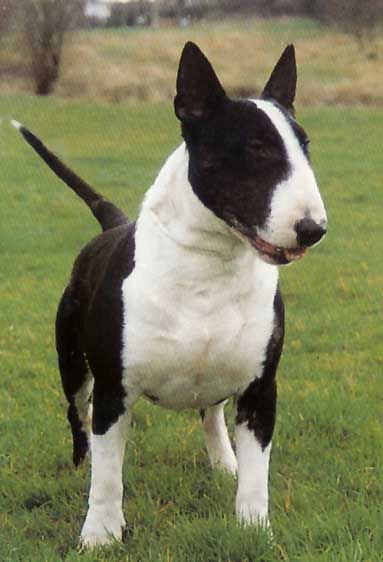 Bull Terrier Pictures And Images Bull Terrier Miniature Bull Terrier Dog Breeds