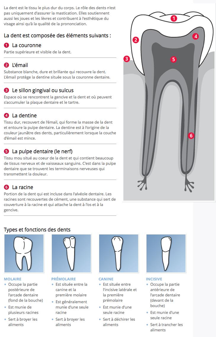 L\'anatomie d\'une dent et la fonction des dents | Speech Language ...