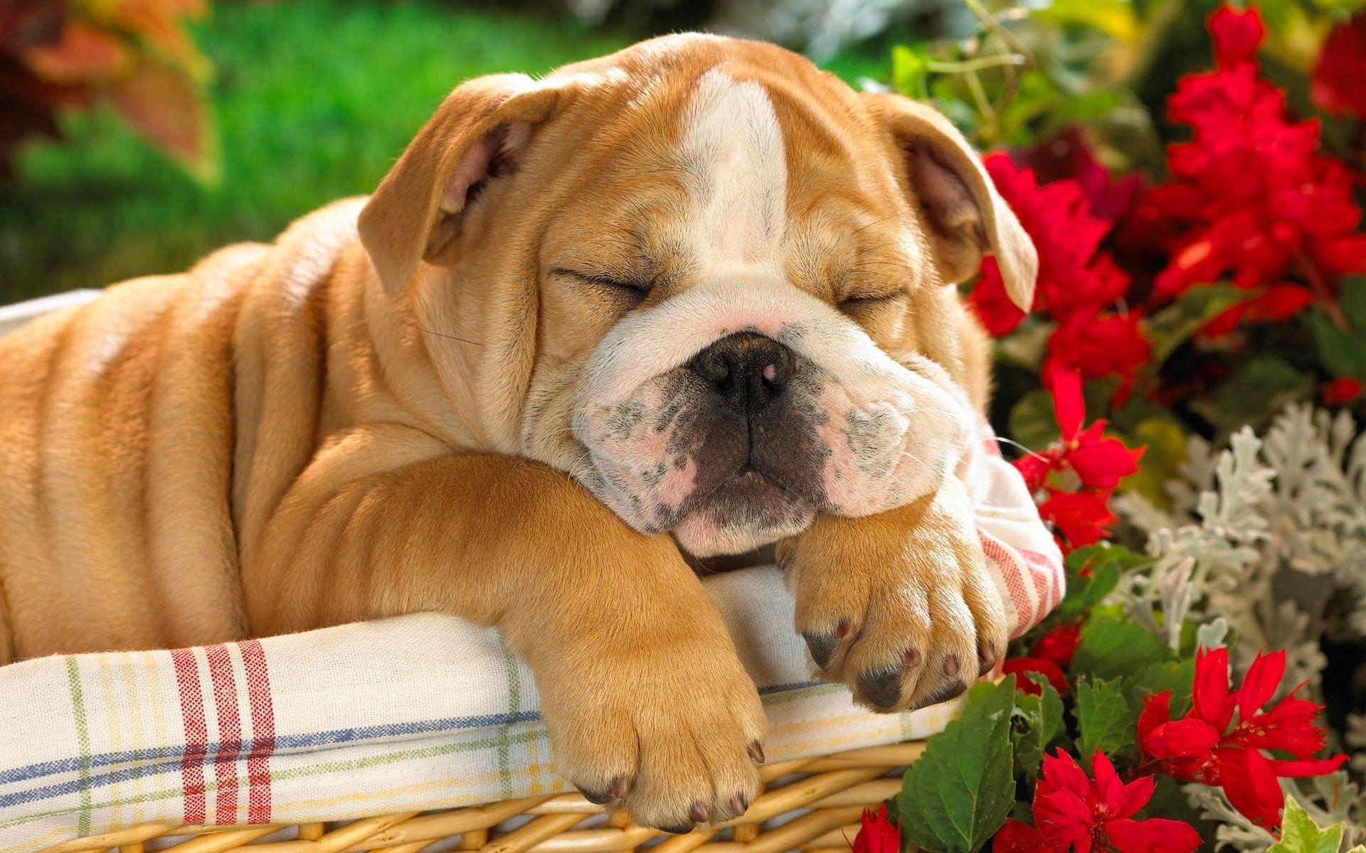 English Bulldog Wallpaper Bulldog Puppies Baby Dogs Cute Puppies