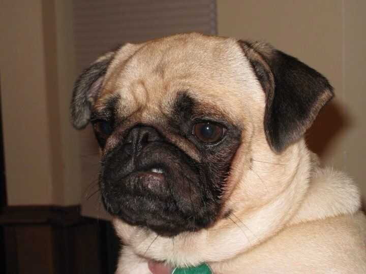 When Your Pug Gets That One Tooth Stuck On Their Lip First