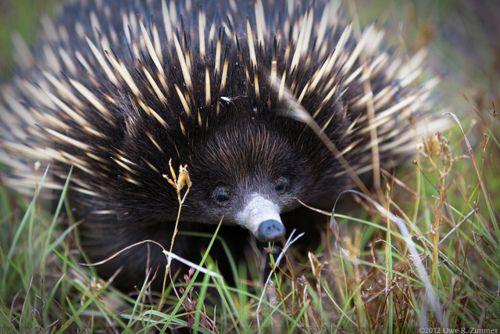 Porcupine Australian Animals Echidna Animals