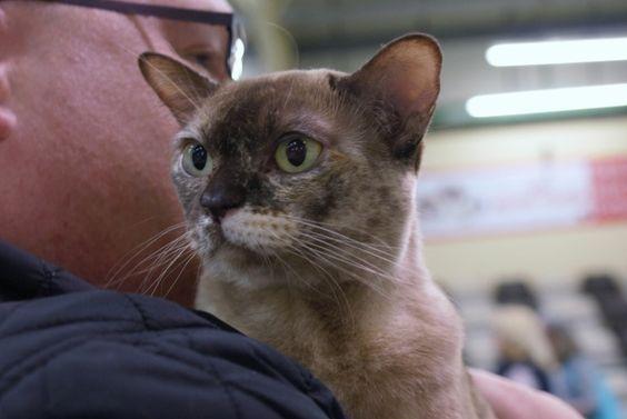 Burmese Cat Igr Katechyn Chocolateorange Burmese Cat Kittens Breed Burmesecat Burmesekittens Cat Breeder Burmese Cat Burmese Kittens