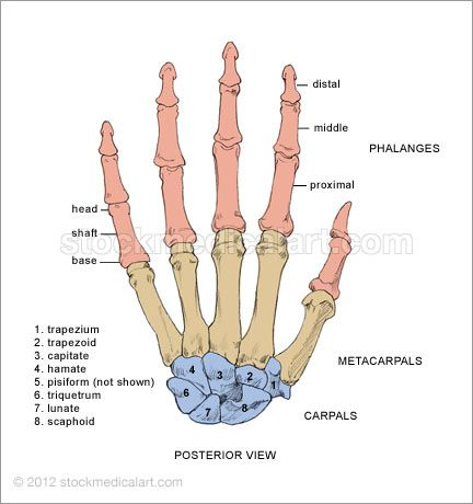 posterior (dorsal hand) - the bones of the hand consist of 14, Sphenoid