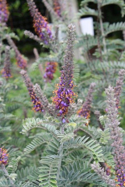 Amorpha nana for sale,buy False Indigo for sale,plants-Plant Delights Nursery, Inc.