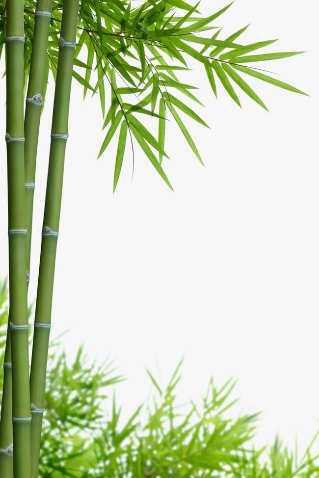 Hsinchu Bamboo Material, Bamboo Clipart, Bamboo Leaves, Bamboo Sketch PNG Transparent Clipart Image and PSD File for Free Download
