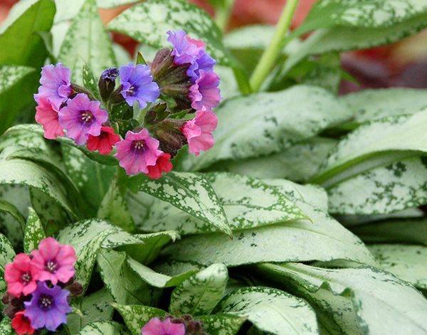Pulmonaria Silver Bouquet Pbr Lungwort Silver Bouquet
