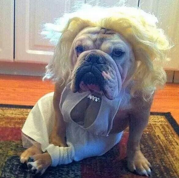 32 Dogs With Better Costumes Than You Bulldog Halloween Costumes