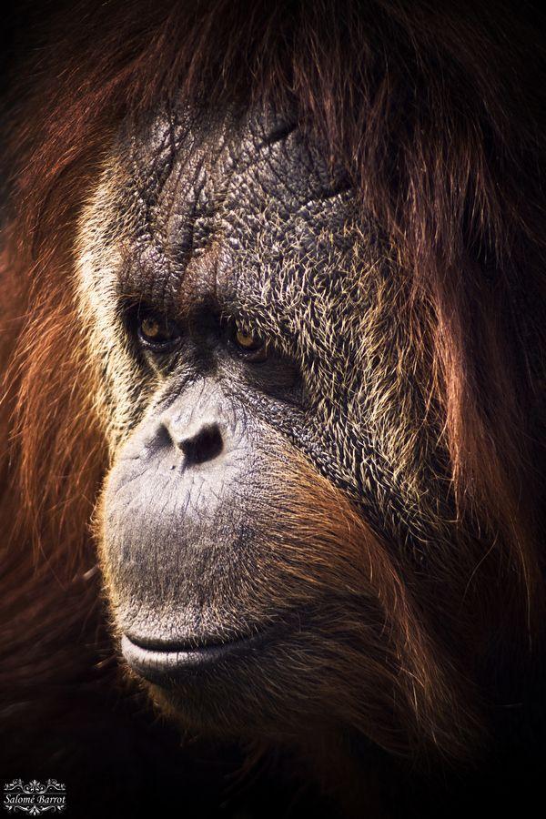 Orangutan #Orangutan