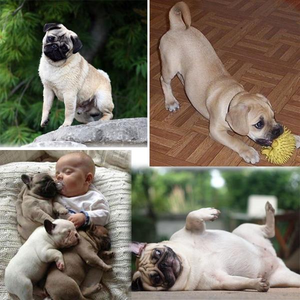 The charming Pug dogs Pug dog, Dogs, Pugs