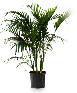 Cateracterum Palm | Outdoor Oasis | Palm plant, Palm plant ...