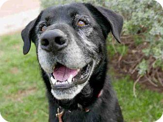 Gosling Urgent Senior Alert Austin Animal Center In Austin Tx Adopt Or Foster Neutered Male Labrado Labrador Retriever Labrador Retriever Mix Labrador